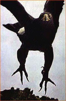 Photographie d'aigle extraite du National Geographic.